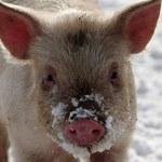 """Naukowcy z Yale utrzymują świński mózg """"przy życiu"""" poza organizmem"""