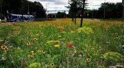 Nawet 120 mln zł na zieleń w Krakowie. Mieszkańcy grodu Kraka polubili łąki kwietne