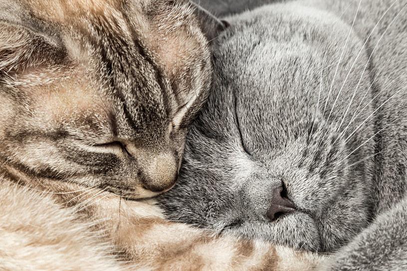 Nawet koty niewychodzące są narażone na działanie pasożytów /123RF/PICSEL