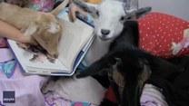 Nawet kozy lubią kiedy czyta im się książki