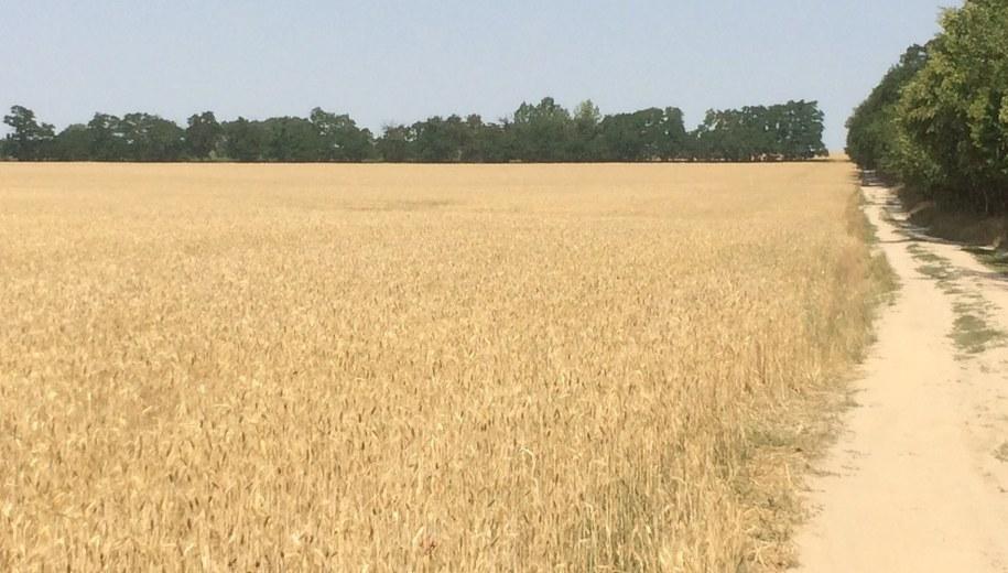 Nawet o połowę mniej plonów niż przed rokiem mogą zebrać rolnicy w Wielkopolsce /Mateusz Chłystun /RMF FM