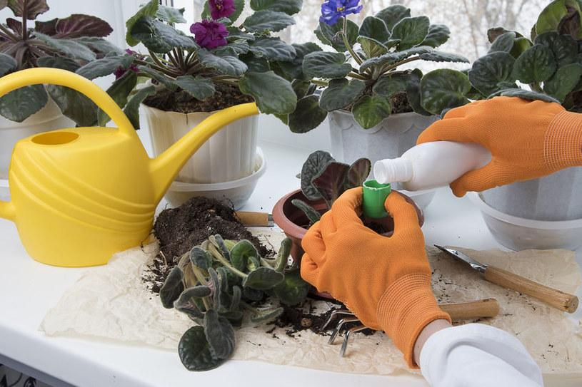 Nawozem z drożdży można podlewać kwiaty doniczkowe /123RF/PICSEL