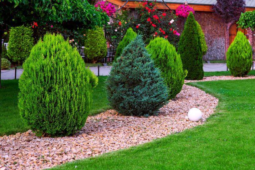 Nawożenie żywotników jesienią spowoduje, że będą pięknie rosły! /123RF/PICSEL