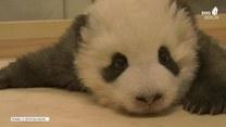 Nic słodszego dziś nie zobaczysz. Panda walczy z czwkawką przed zaśnięciem
