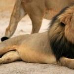 Nie będzie zarzutów za zabicie lwa Cecila