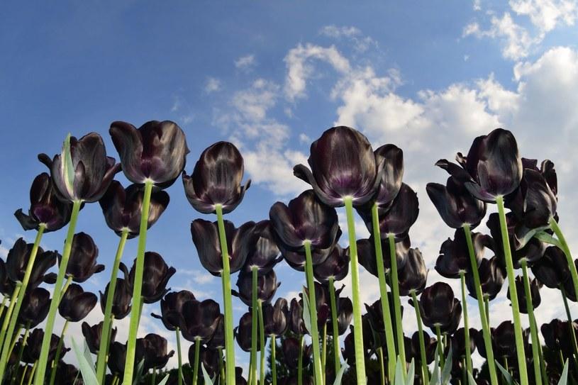 """""""Nie ma kwiatu który po rozwinięciu ma wszystkie elementy całkowicie czarne jak sadza"""" /123RF/PICSEL"""