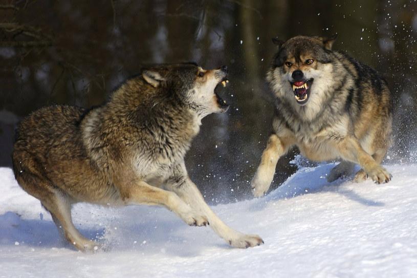 """Nie można powiedzieć, że wilków w Polsce jest """"za dużo"""" /imago stock&people /East News"""