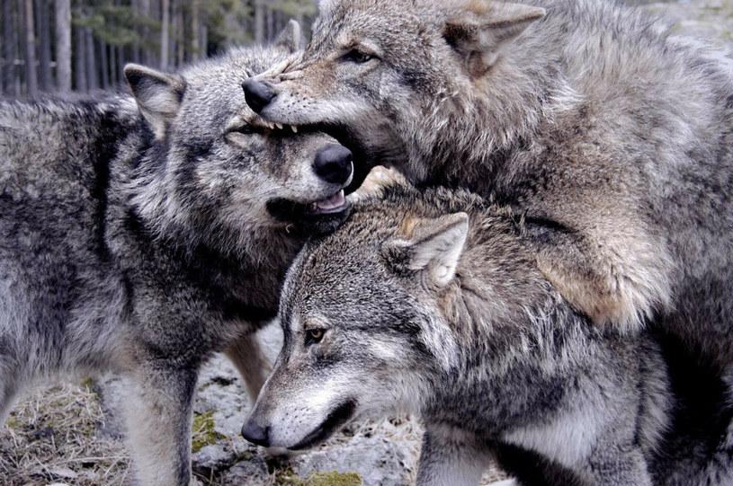 """""""Nie można twierdzić, że każde spotkanie z wilkiem jest zagrożeniem. Jeżeli już, to dla niego"""" /JACOB HALASKA /East News"""