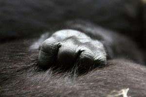 Nie tylko ludzie cierpią po śmierci najbliższych. Małpie matki także przeżywają żałobę