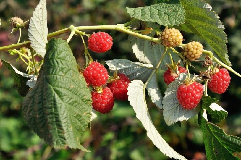 Nie tylko owoce malin są wartościowe /123RF/PICSEL