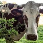 Nie wiadomo, do których krów i świń będzie 500 plus i 100 plus