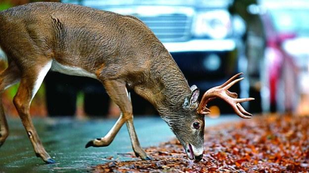Nie wszędzie specjalne znaki ostrzegają przed dziką zwierzyną. /Motor