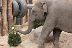 Nie wyrzucaj choinki, zanieś ją do zoo