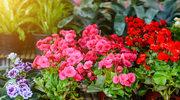 Nie wyrzucaj przekwitłej begonii