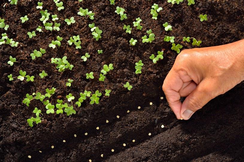 Nie zapomnij o wysianiu warzyw /123RF/PICSEL