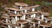 Nie zbieraj grzybów, jeśli się na nich nie znasz