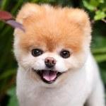 """Nie żyje Boo, """"najsłodszy pies na świecie"""""""