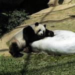 Nie żyje jedna z młodych pand z zoo w Waszyngtonie