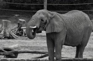 Nie żyje słonica Linda z poznańskiego zoo