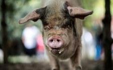 """Nie żyje """"Twarda Świnia"""". Przeżyła trzęsienie ziemi"""