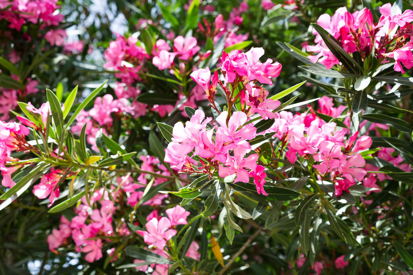 Niebezpieczny może być m.in. popularny oleander /123RF/PICSEL