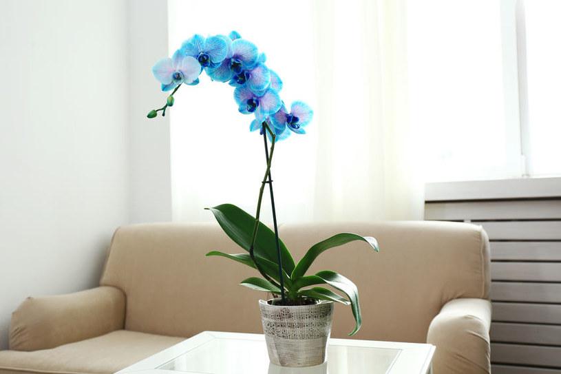 Niebieskie kwiaty storczyka /©123RF/PICSEL