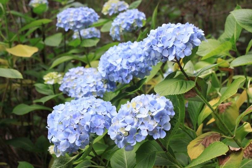 Niebieskie kwiaty /123/RF PICSEL