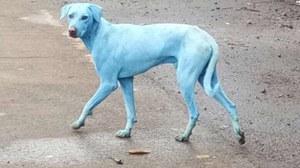 Niebieskie psy na indyjskich ulicach