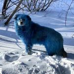 Niebieskie psy na ulicach w Rosji. Niepokojąca przyczyna