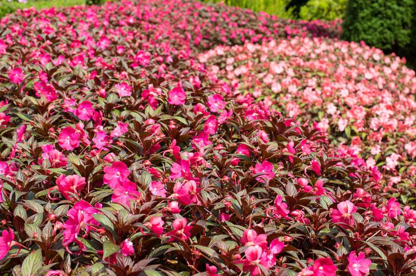 Niecierpek pięknie rośnie na rabatach /123RF/PICSEL