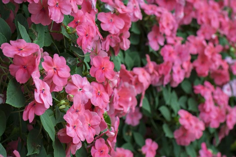 Niecierpek szczelnie pokrywa się kwiatami /123RF/PICSEL