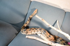 Niecodzienny transport węża boa