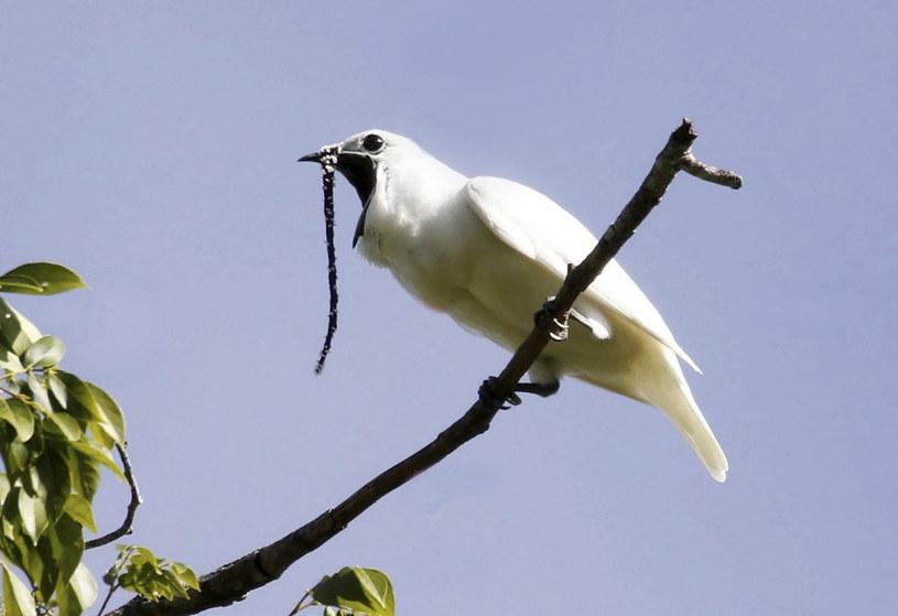 Niedawno badacze zarejestrowali najgłośniejszy ptasi trel na świecie, wydobywający się z maleńkiego ciała właśnie tego ptaka. Dźwięk osiągnął wartość 125,4 dB /East News