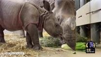 Niedawno przyszedł na świat, a już bryka! Mały nosorożec z zoo w Denver