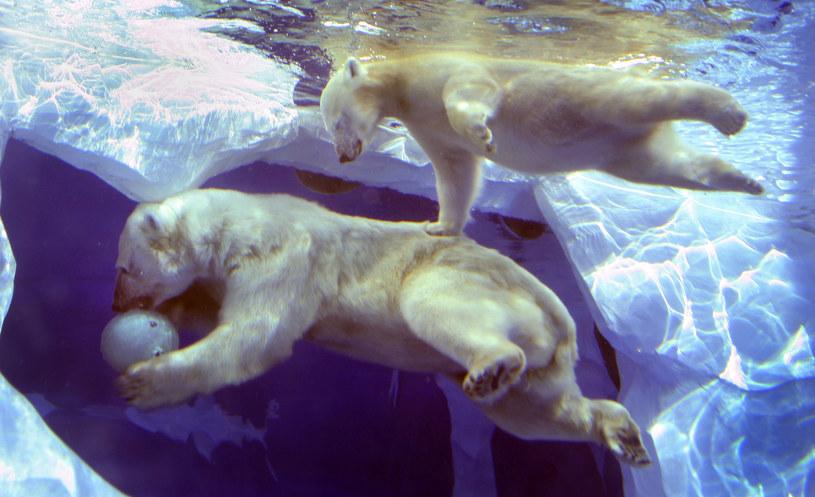 Niedwiedzie polarne /BILL PUGLIANO / GETTY IMAGES NORTH AMERICA / AFP /Getty Images