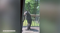 Niedźwiadek nie mógł się zdecydować, który karmnik dla ptaków wybrać