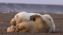 Niedźwiadek robi wszystko, by zwrócić uwagę matki