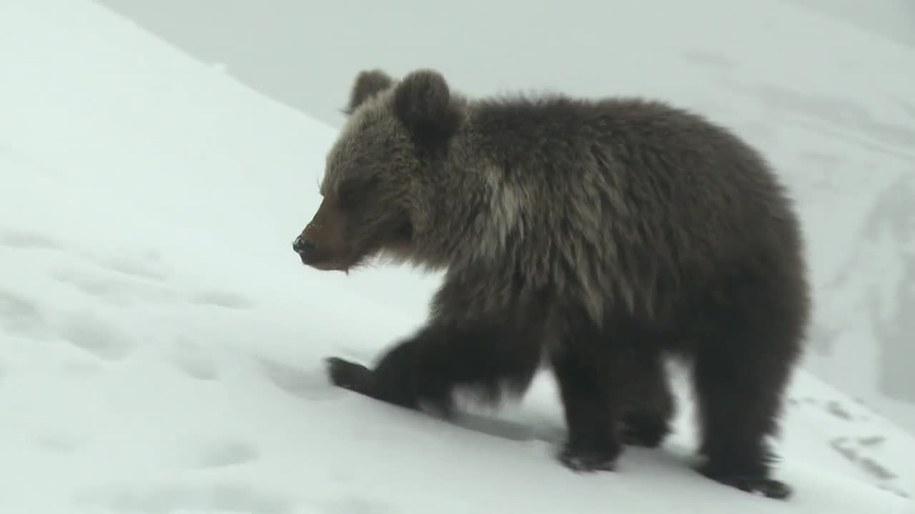 Niedźwiadek z Kasprowego Wierchu nie żyje /TVN24/x-news