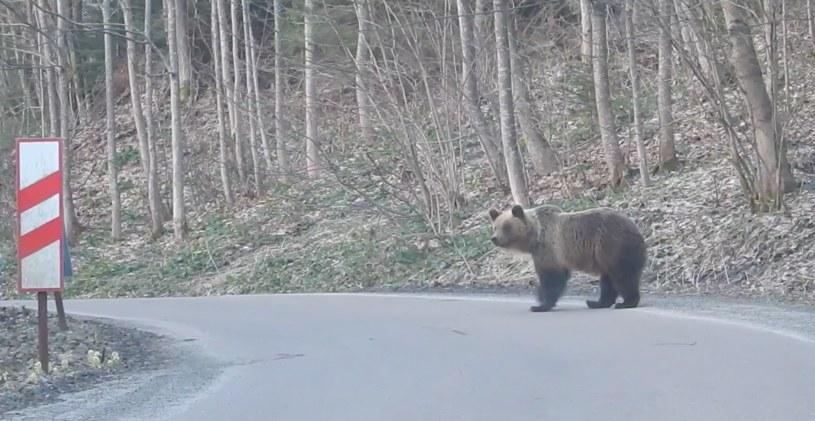 Niedźwiadki spacerujące po ulicy/ /Kazimierz Nóżka/Nadleśnictwo Baligród /facebook.com