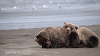 Niedźwiadki tulą się do siebie przez sen. Urocze?