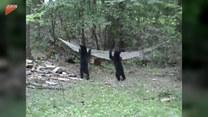 Niedźwiadki znalazły idealne miejsce na relaks