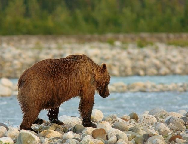 Niedźwiedź brunatny jest największym drapieżnikiem żyjącym w polskich lasach /© Panthermedia