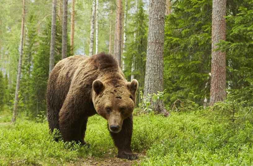 Niedźwiedź brunatny, zdjęcie ilustracyjne /FLPA/Mark Sisson /East News