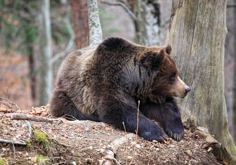 Niedźwiedź brunatny /123RF/PICSEL