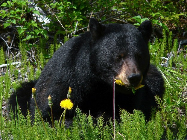 Niedźwiedź czarny na zdjęciu iilustracyjnym /foto. pixabay /