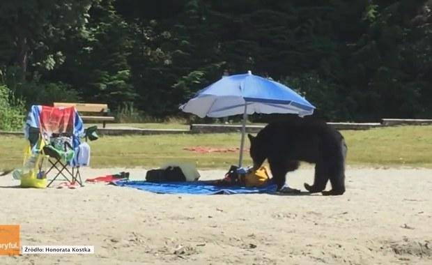 Niedźwiedź grasuje po plaży w poszukiwaniu pożywienia