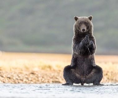Niedźwiedź, który ćwiczy jogę. Jest uroczy!