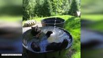 Niedźwiedź pluska się w baseniku niczym dziecko