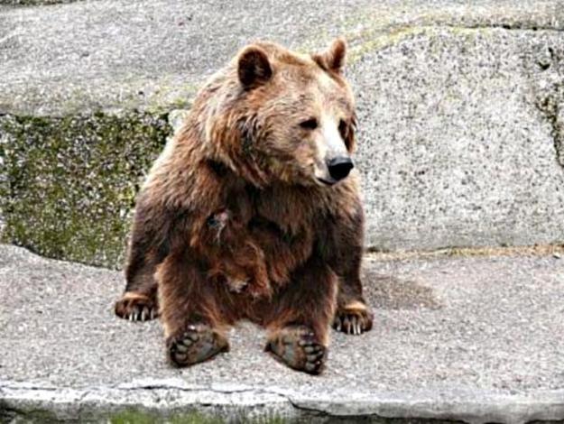 Niedźwiedź pojawił się w rejonie Babiej Góry / fot. T. Piekarski /MWMedia
