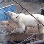 Niedźwiedź polarny przeszedł 1000 km na południe. Pierwszy taki przypadek w historii